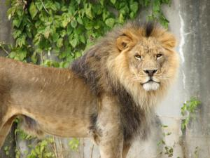 Handsome_Lion_001